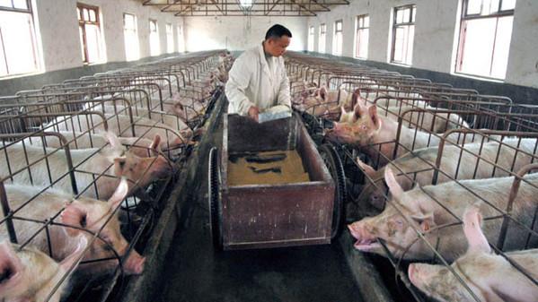 Troppi Antibiotici Nei Maiali Cinesi Aumentano I Batteri